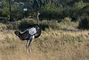 Southern ostrich (Struthio camelus australis)
