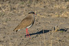 Crowned plover  (Vanellus coronatus)