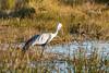 Wattled Crane (Bugeranus carunculatus)
