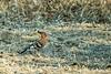 African hoopoe (Upupa epops africana)