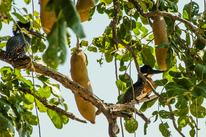 Giant Kingfisher (Megaceryle maxima) in a Sausage Tree
