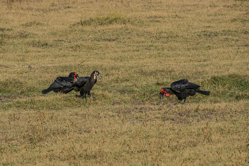 Southern ground hornbill (Bucorvus leadbeateri)