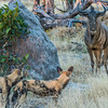 African Wild Dogs Hunting