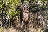 Common tsessebe or sassaby (Damaliscus lunatus)