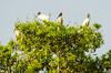 Wood storks (Mycteria americana)