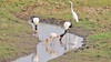 Saddle-Billed Storks, a  Little Egret  and a  Yellow-billed Stork, Mycteria ibis,