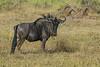 Blue wildebeest (Connochaetes taurinus),