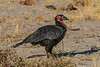 Southern ground hornbill (Bucorvus leadbeateri