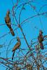 Grey Go-away-bird (Corythaixoides concolor)