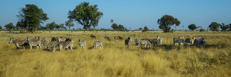 Burchell's zebra (Equus quagga burchellii)