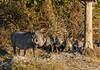 Southern warthog (Phacochoerus africanus)