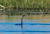 African darter (Anhinga rufa )