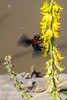 Bumble Bee and Wildflower on the bank of the Laungwa River