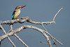 Striped Kingfisher (Halcyon chelicuti)
