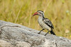Damara red-billed hornbill (Tockus damarensis)