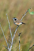 Capped wheatear (Oenanthe pileata)