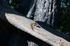 Smith's Bush Squirrel (Paraxerus cepapi),
