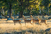 Impala are alert to the wild dog's threat