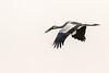 Asian openbill or Asian openbill stork (Anastomus oscitans)