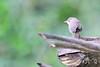 Peg-billed Finch, Acanthidops bairdii