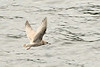Mew Gull (Larus canus) in the Tongass Narrows