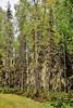 Birch and White Spruce with lichen