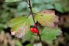 Highbush Cranberry or Mooseberry (Vibrunum edule)