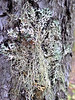 Varied rag lichen (Platismatia glauca) and Old Man's Beard (Usnea sp.)