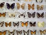 Mounted Butterflies