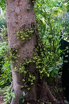 Cluster fig tree (Ficus racemosa