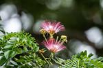 Persian silk tree (Albizia julibrissin)