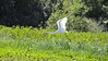 Great Egret (Ardea alba), also known as the Great White Egret or Common Egret