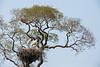 jabiru (Jabiru mycteria)