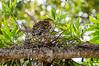 Rufescent tiger heron (Tigrisoma lineatum)