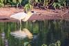 Capped heron (Pilherodius pileatus)