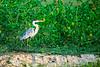 Cocoi heron (Ardea cocoi) fishing in a pond at Pouso Alegre