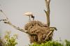 Jabiru Stork (Jabiru mycteria)